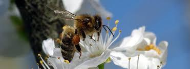 abeilles,néonicotinoides