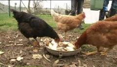 poules,dechets