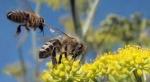 abeilles,gaucho,cruiser